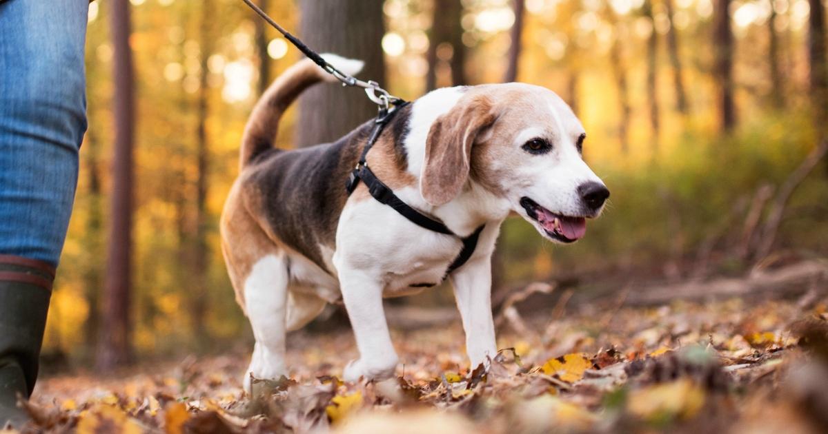 Японці створили систему управління собакою з допомогою лазерів