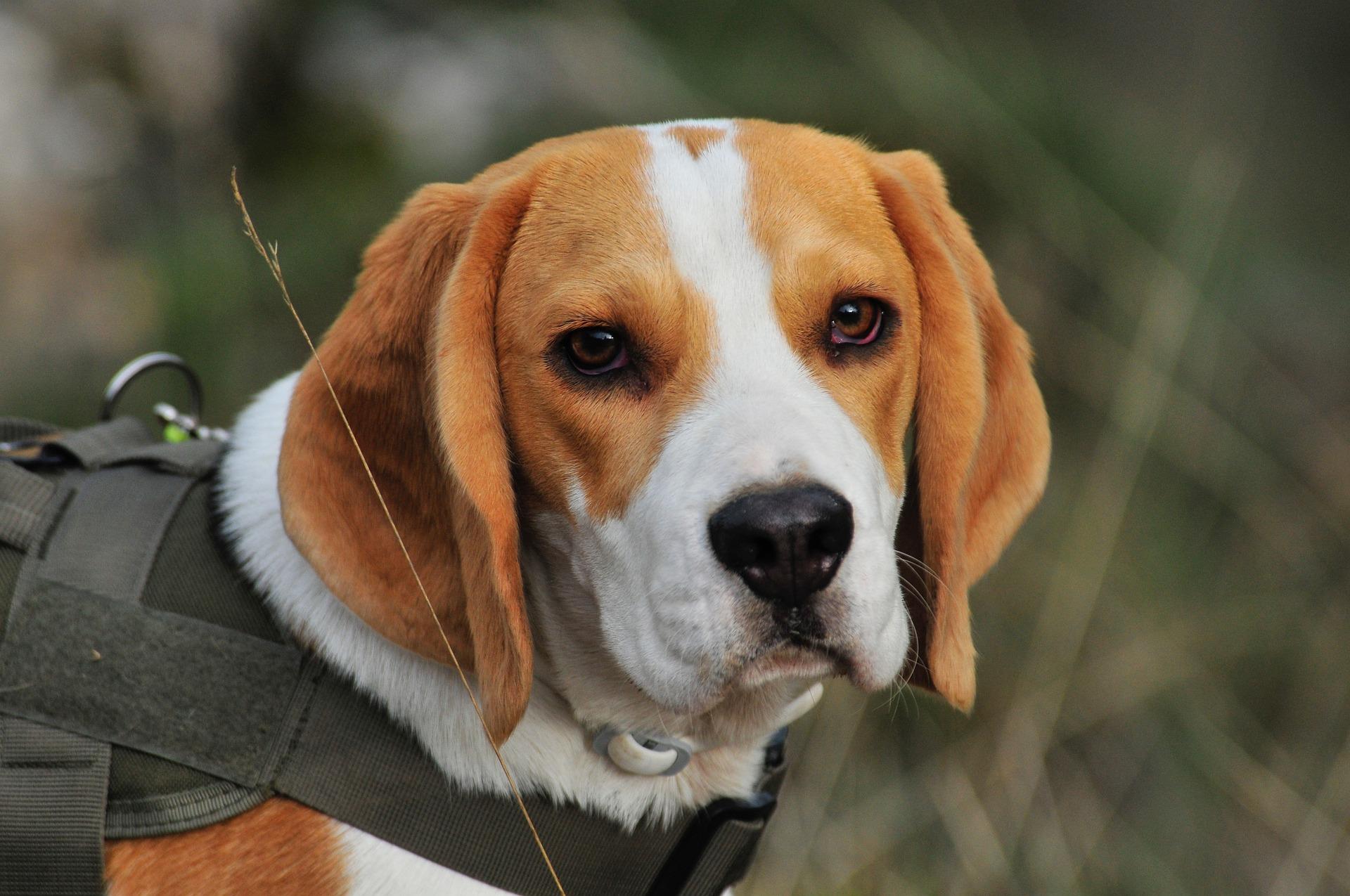 Топ-10 собак, які живуть довше всіх