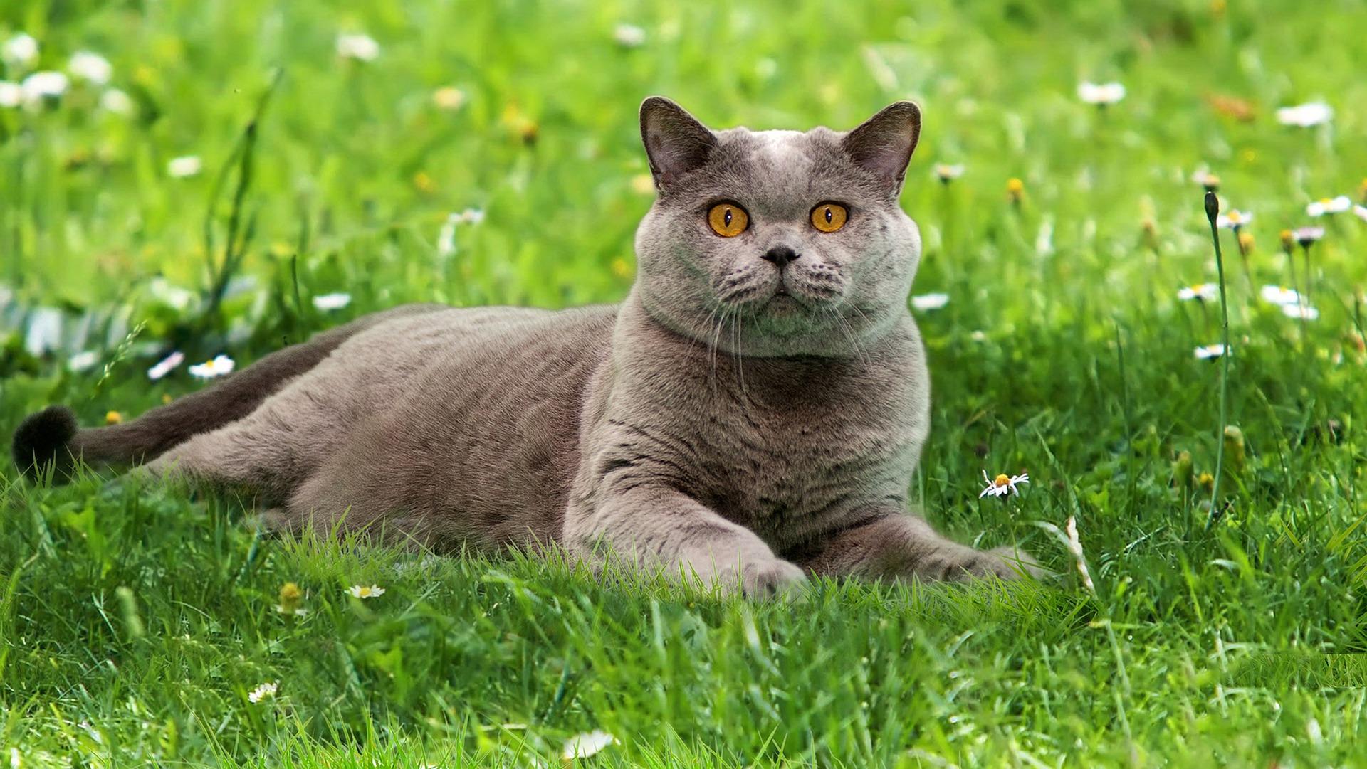 Чим годувати кота британця: особливості правильного догляду