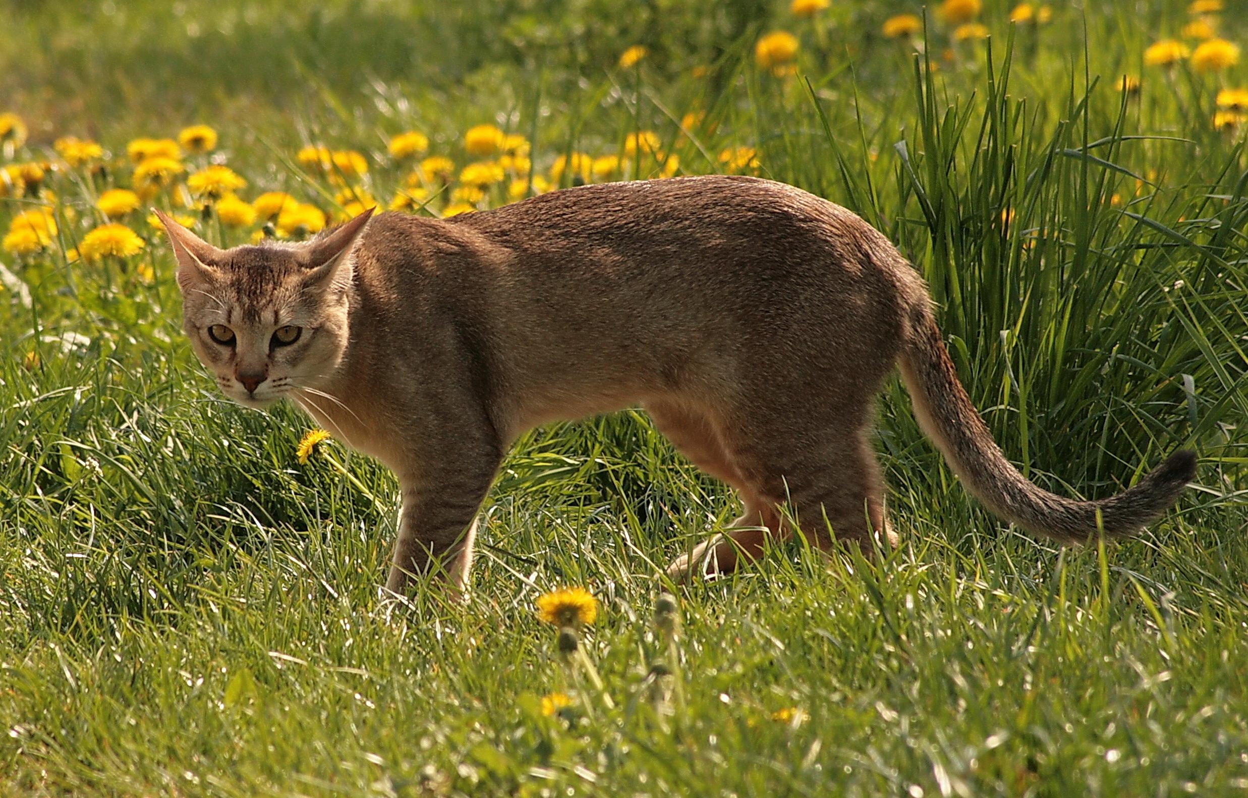 Стоун кугуар: все, що потрібно знати про найнебезпечнішою породі очеретяного кота