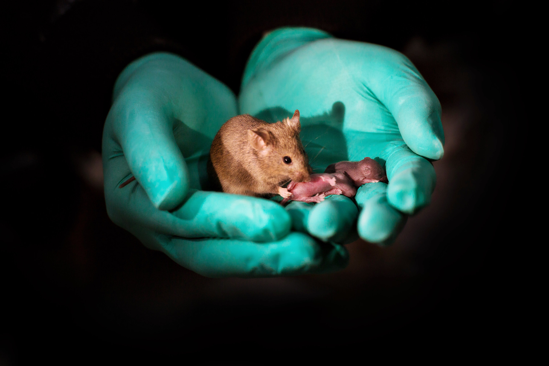 Вчені з Китаю допомогли одностатевим мишам стати батьками здорових дітей